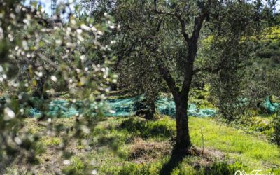 The Taggiasca Olive Tree